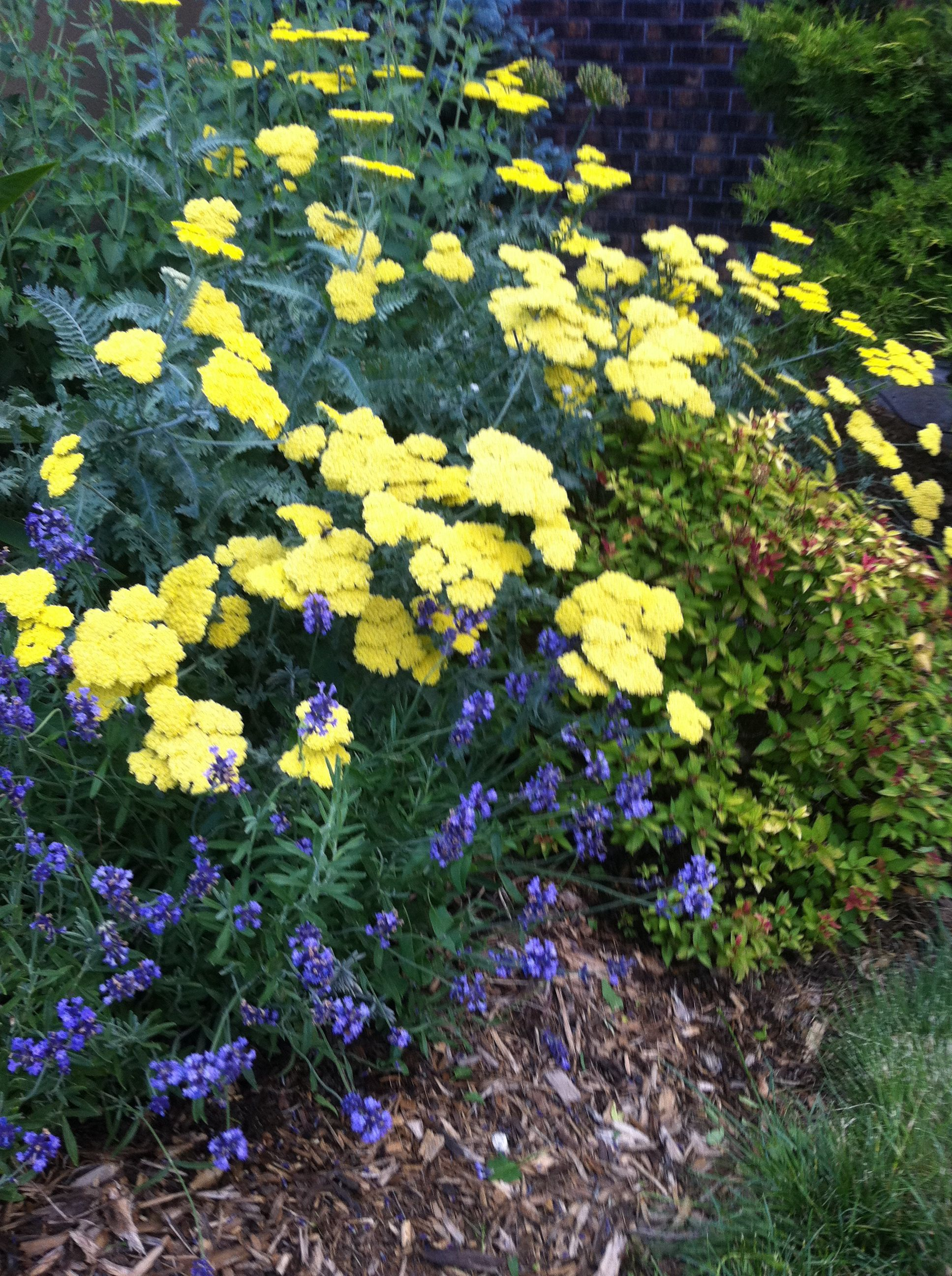moonshine' yarrow, 'magic carpet' spirea and lavender (dragonfly