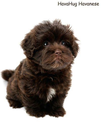 Beautiful Dark Chocolate Havanese Puppy