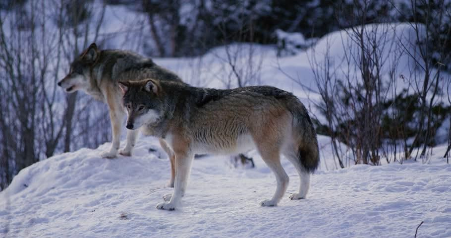 Wolf Howling a Cold Winter Stock Footage Video