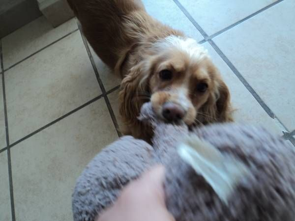 Lost Cocker Spaniel Mix East Los Angeles Hello Our Dog Paulie