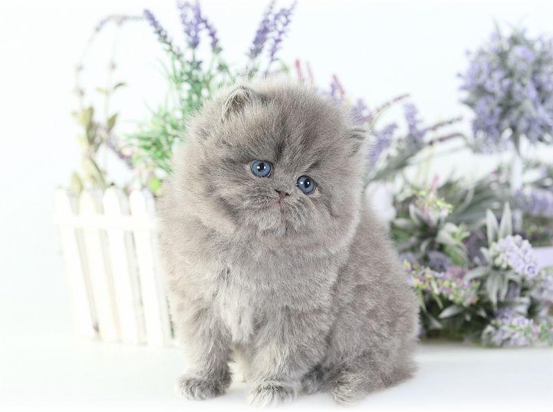 Past Kittens Persian Kittens Persian Cat Doll Face Persian Cat