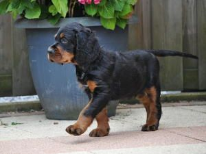 Gordon Setter Puppy Nice Guy From The Noble Friends Kennel From The Noble Friends Setter Puppies Gordon Setter Puppies