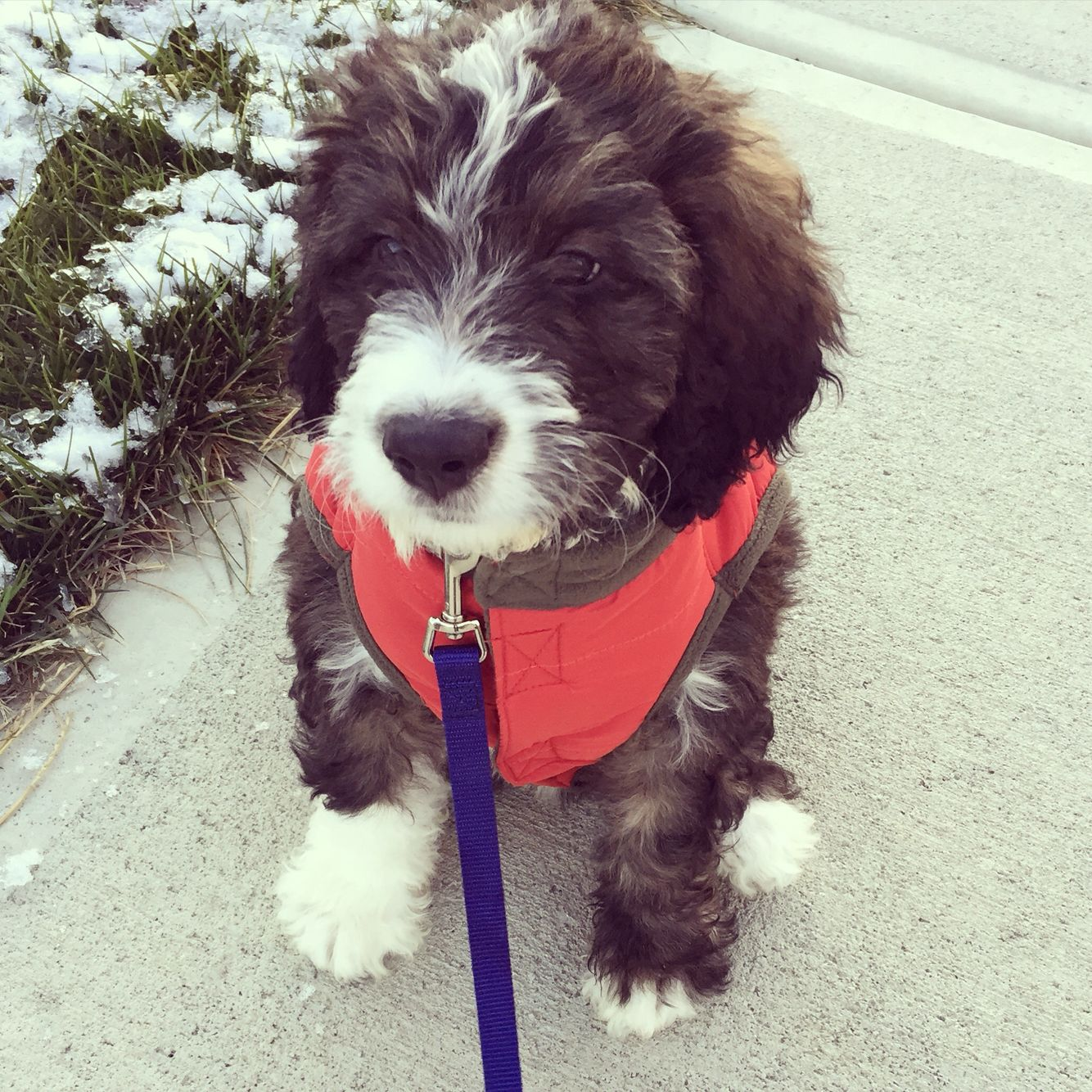 Mckinley A 10 Week Old Bernedoodle Cute Animals Puppies Bernese Mountain Dog Poodle