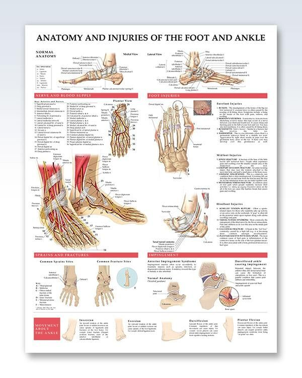 Anatomy and Injuries of the Foot and Ankle 20x26 | Anatomy, Ankle ...
