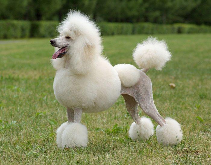 About The Poodle Smartest Dog Breeds Dog Breeds Best Dog Breeds