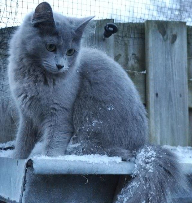 This Green Eyed Gray Cat Is A Nebelung These Cats Are Known For Their Dreamy Green Eyes And Long Graceful Russian Blue Cat Personality Cat Breeds Blue Cats