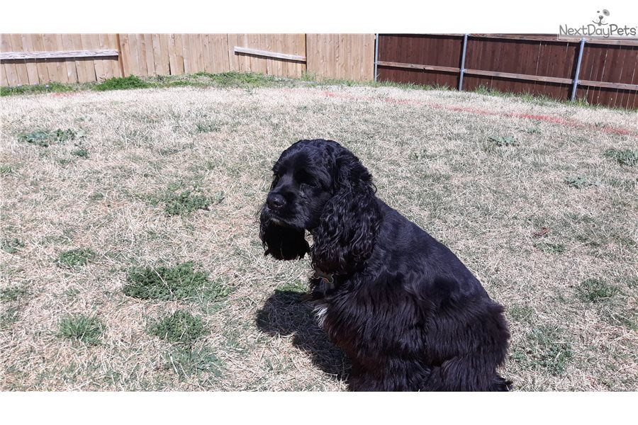 Bryson Cocker Spaniel Puppy For Sale Near Dallas Fort Worth