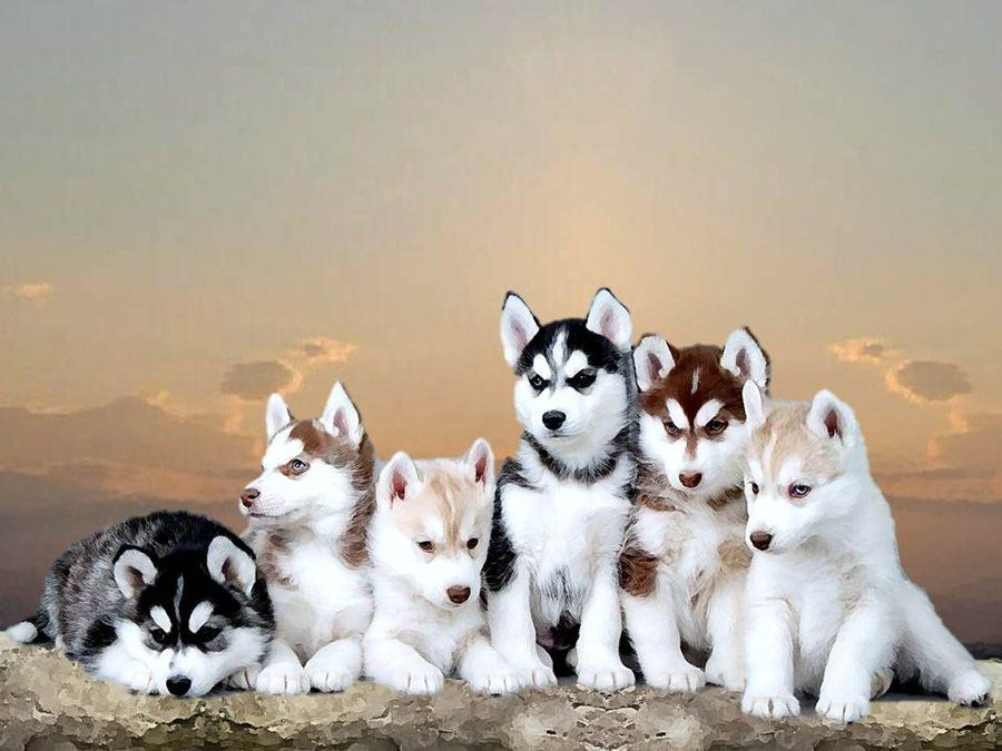 Before You Buy Adopt Even Think About Owning A Siberian Husky