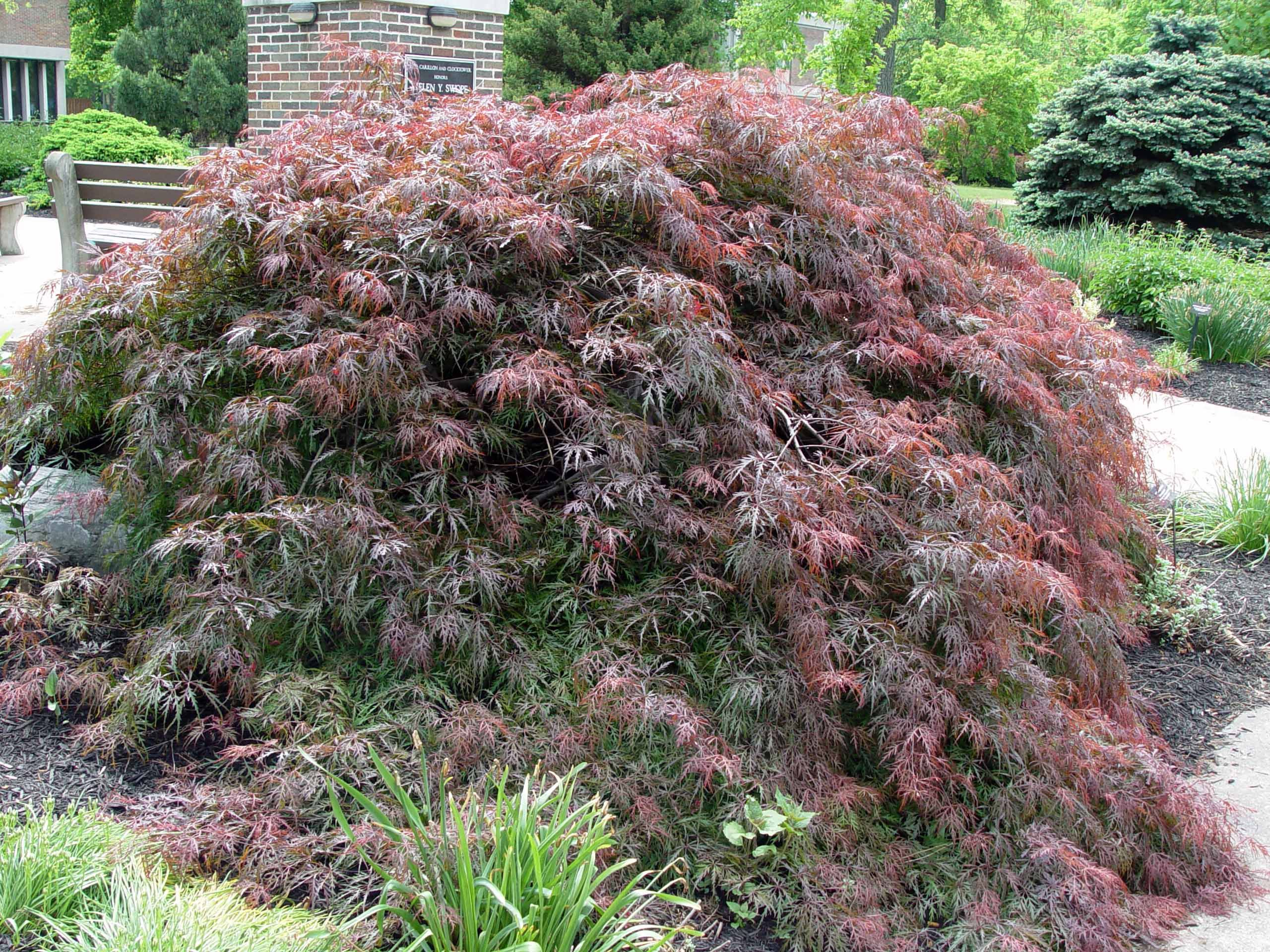 Acer palmatum var dissectum Crimson Queen the standby for red