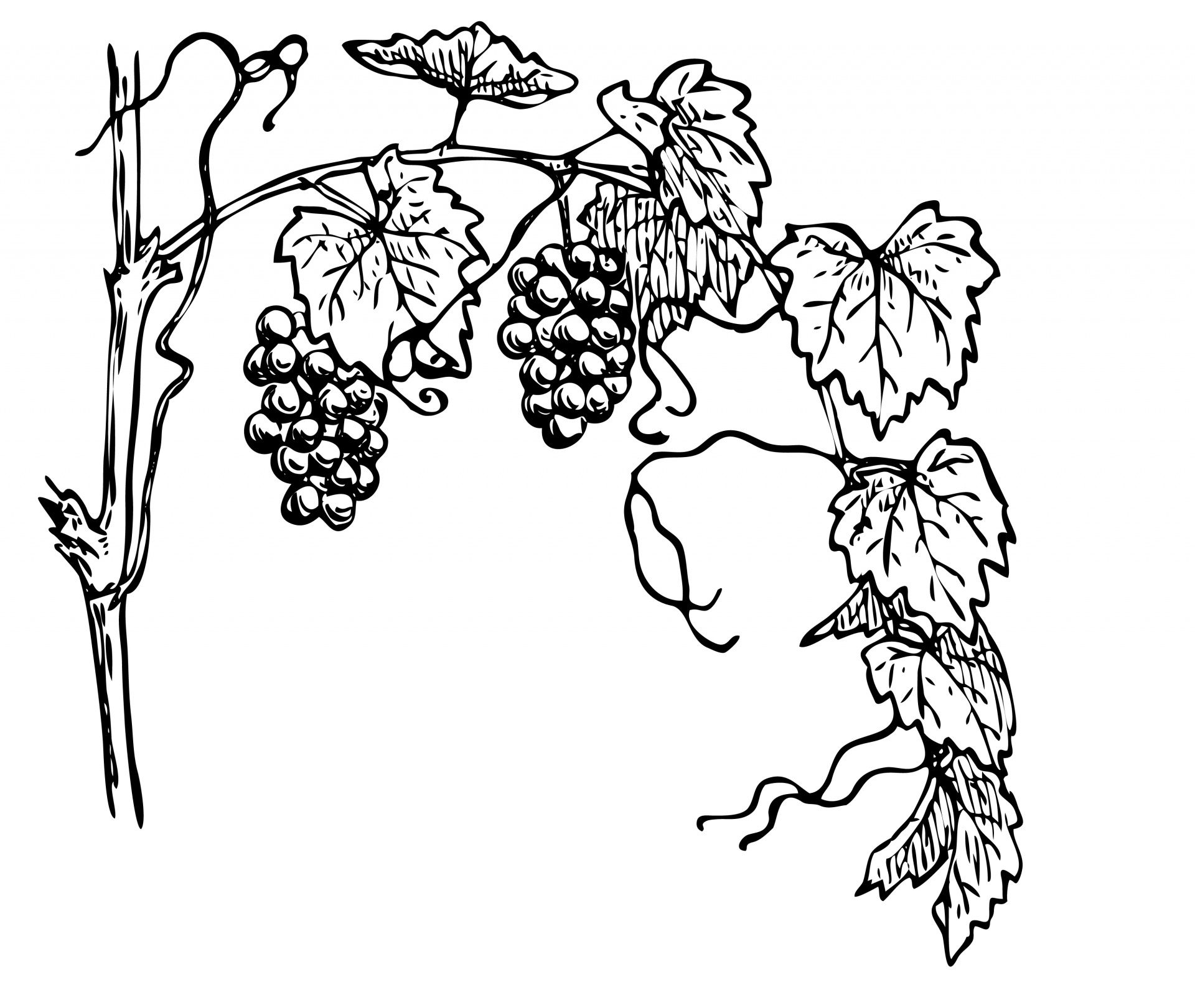 medium resolution of grapevine clipart illustration free stock photo public domain