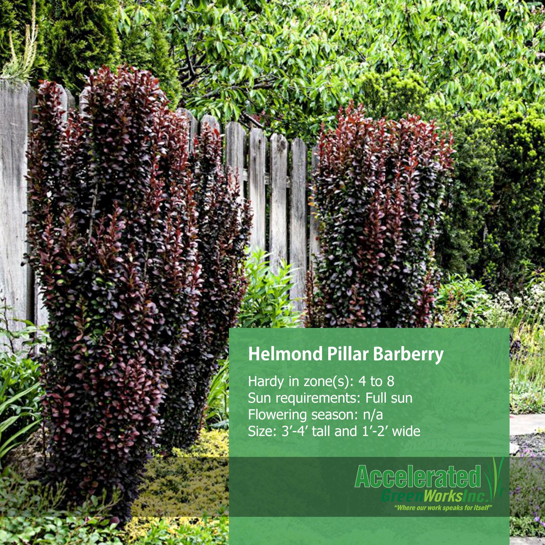 Helmond Pillar Barberry