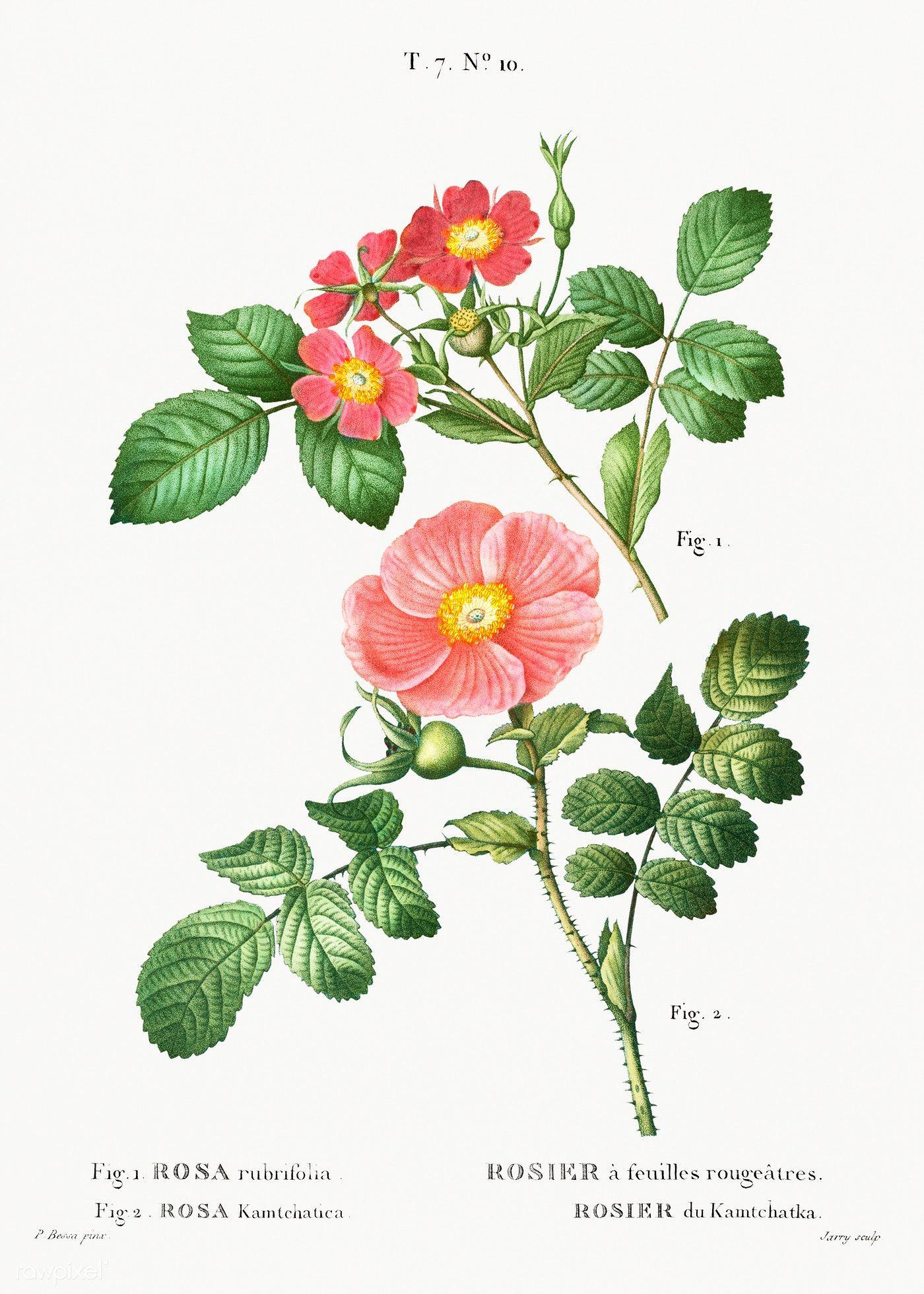 1. Redleaf rose (Rosa rubrifolia) 2. Japanese rose (Rosa