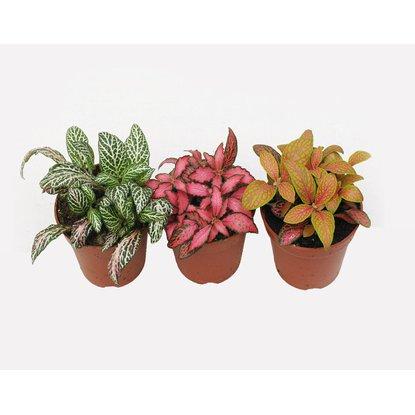 4flower Fitonia Fittonia Sp Mix Don 6cm Kupuj W Obi Plants Garden Plants Planters