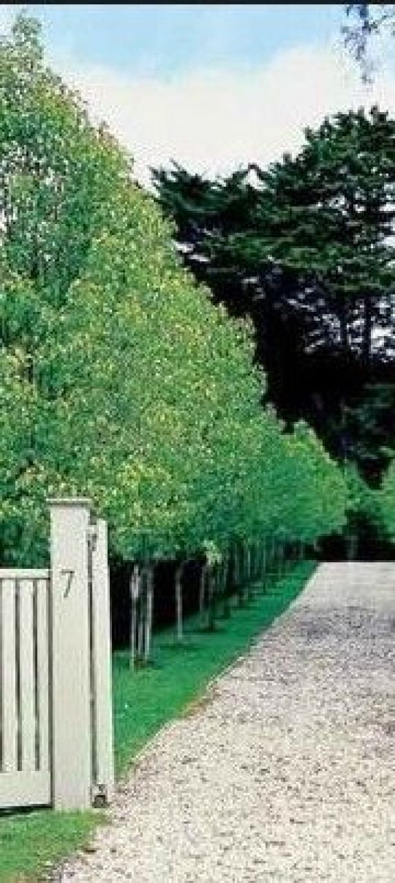 A row of Pyrus Capital - pears. Very Paul Bangay! would be great along neighbour...#bangay #capital #great #neighbour #paul #pears #pyrus #row