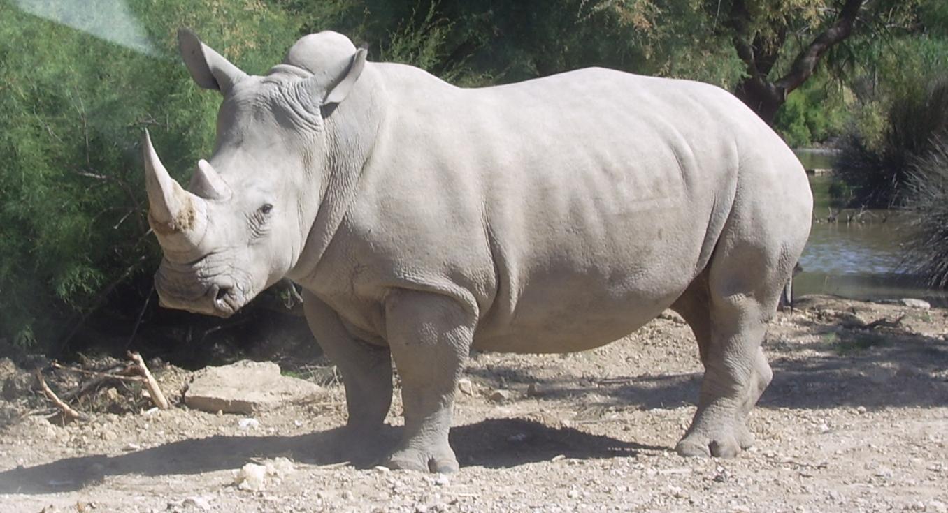 Rinoceronte blanco del norte.  Su amenaza es la demanda de su cuerno en la medicina tradicional china, aunque no hay ninguna prueba científica de su valor medicinal.