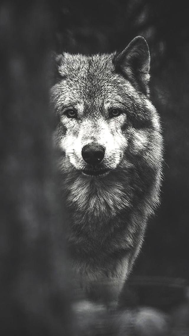 Wolf Fotos De Lobos Wolf Love Animais Selvagens