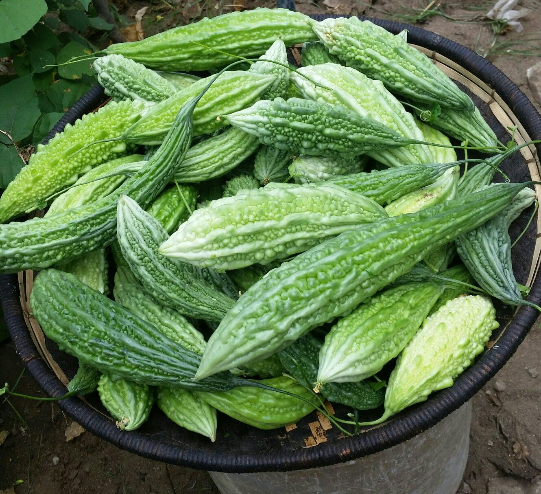 Bitter Gourd (Karela) | Bitter gourd, Cucumber, Vegetable garden
