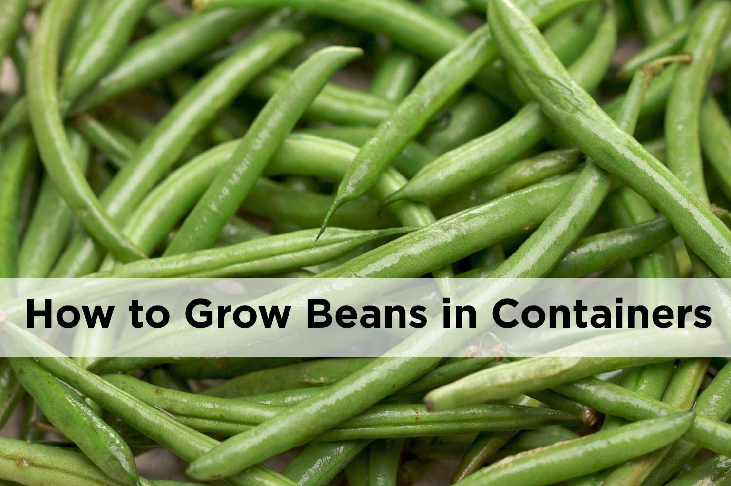Container Gardening How To Grow Beans In Pots Green Beans 400 x 300