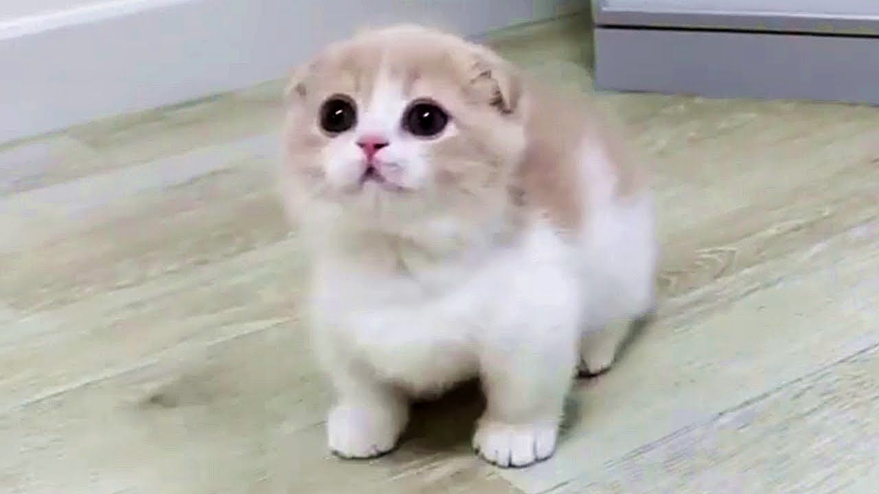 This Munchkin Kitten Will Melt Your Heart With Cuteness Viral Paws Please Keep In Mind That Both Munchkin And Sc Munchkin Kitten Kitten Breeds Munchkin Cat