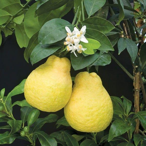 Sweet Lemon (Citrus ujukitsu)
