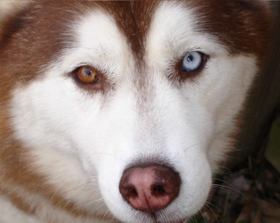 This Red And White Husky Got A Complete Heterochromia With One Of