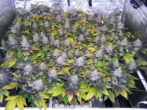 screen of green - Google Search & screen of green - Google Search | Cannabis ScrOG Beauties ...