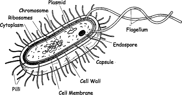 The Schematic Diagram Of Bacterial Cell Structure Download Scientific Diagram Bacterial Cell Structure Cell Structure Cell Diagram