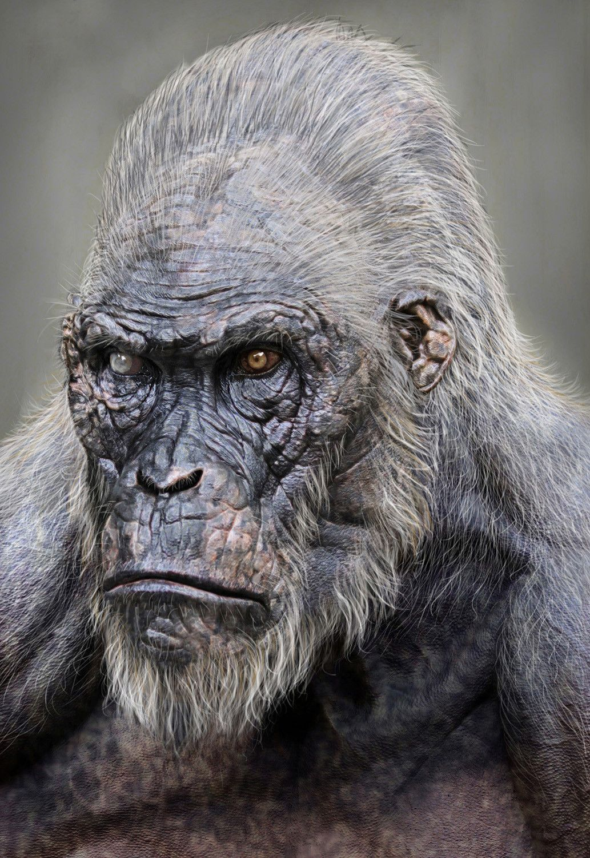 Pin by todd walkaraj on apocalypse animals monkey tarzan gorilla - Tarzan gorille ...