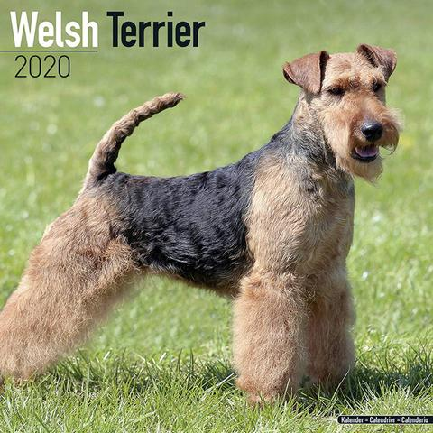 Pin By Ruthieblue On Welsh Terrier In 2020 Welsh Terrier