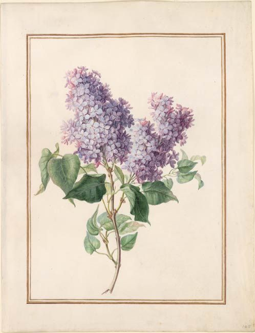 Circle Of Madeleine Francoise Basseporte Flower Drawing Victorian Paintings Botanical Illustration Vintage