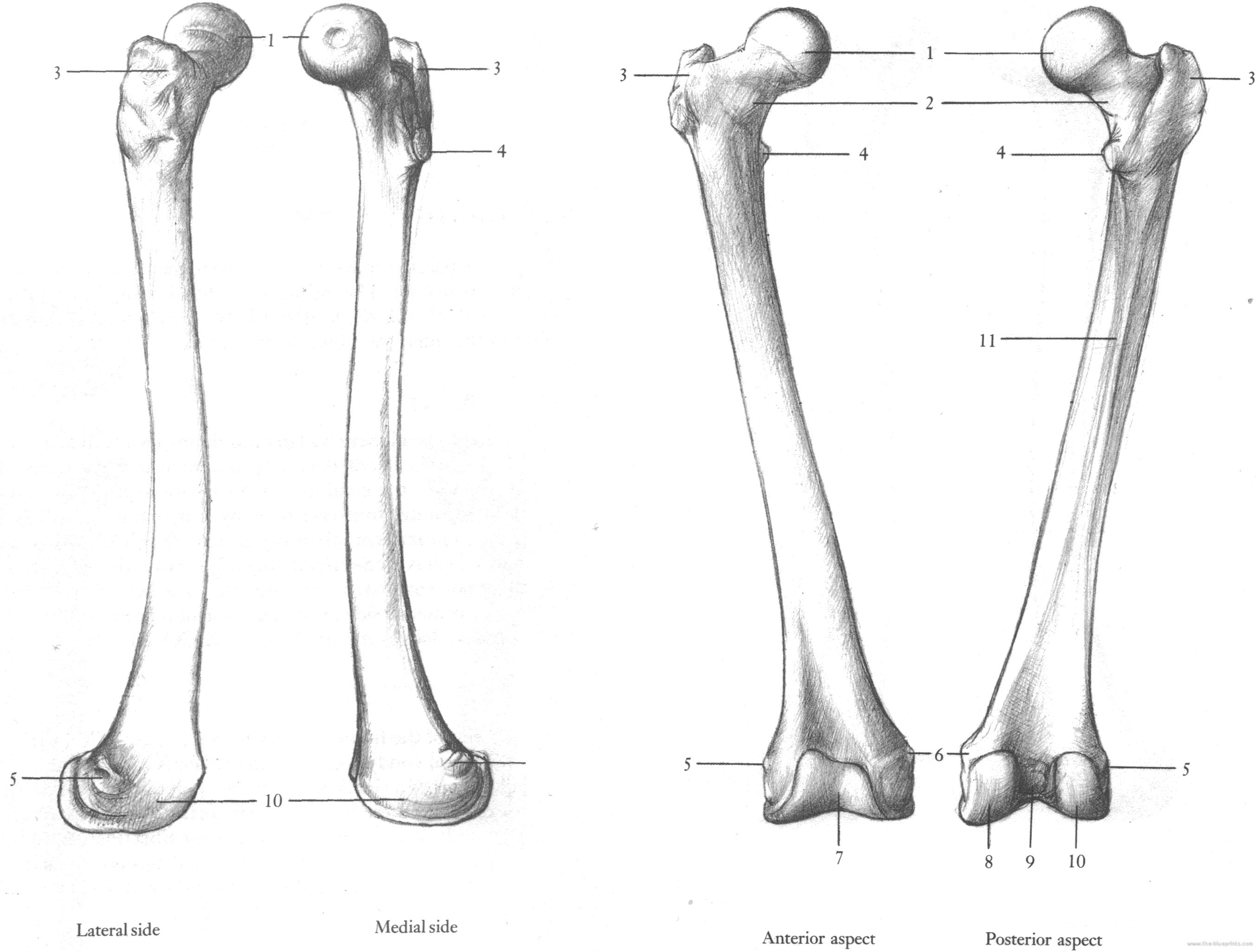 Omplete Femur Upper Leg Bone Image