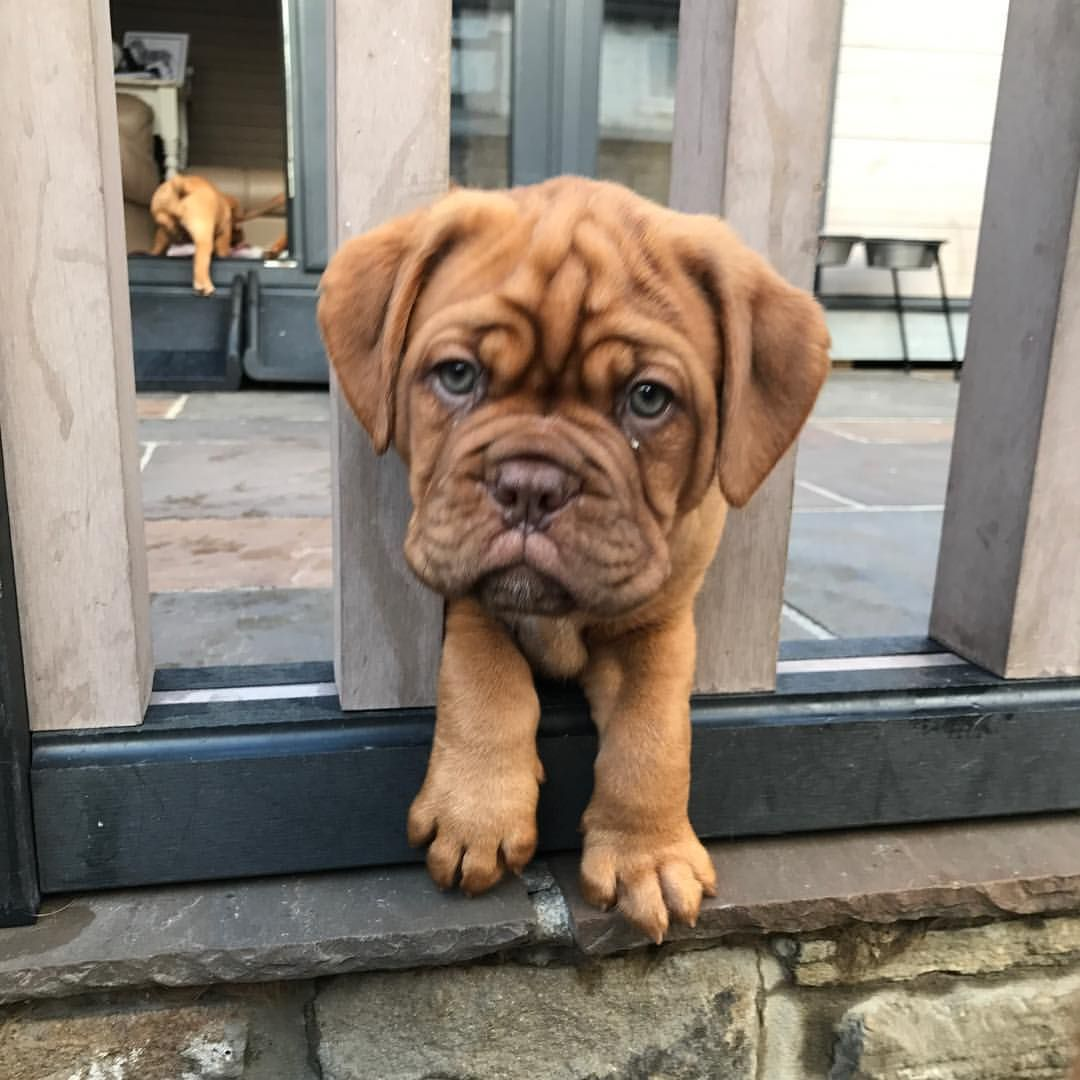 """amylansell on Instagram """"💞😂 """" French mastiff puppies"""
