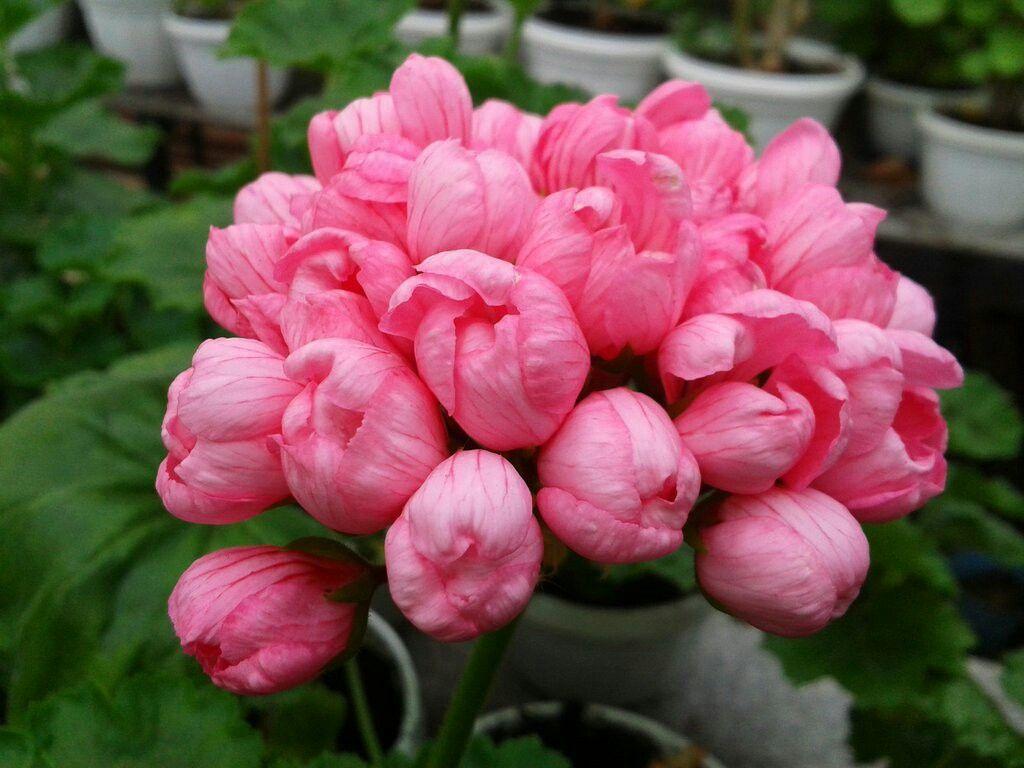 Купить, где купить цветы герани тюльпановидной