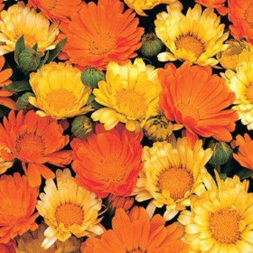 Samen Ringelblume bunte Mischung/Blumensamen/Sämerei/Ringelblume