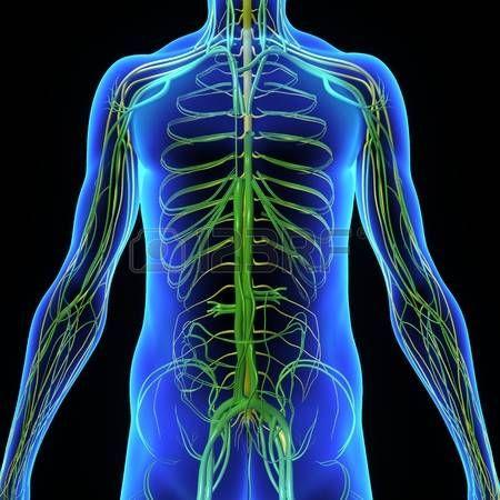 organos internos: Sistema circulatorio | ANATOMIA | Pinterest ...