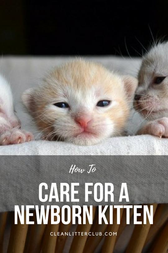 How To Care For A Newborn Kitten Newborn Kittens Kitten Kitten Care