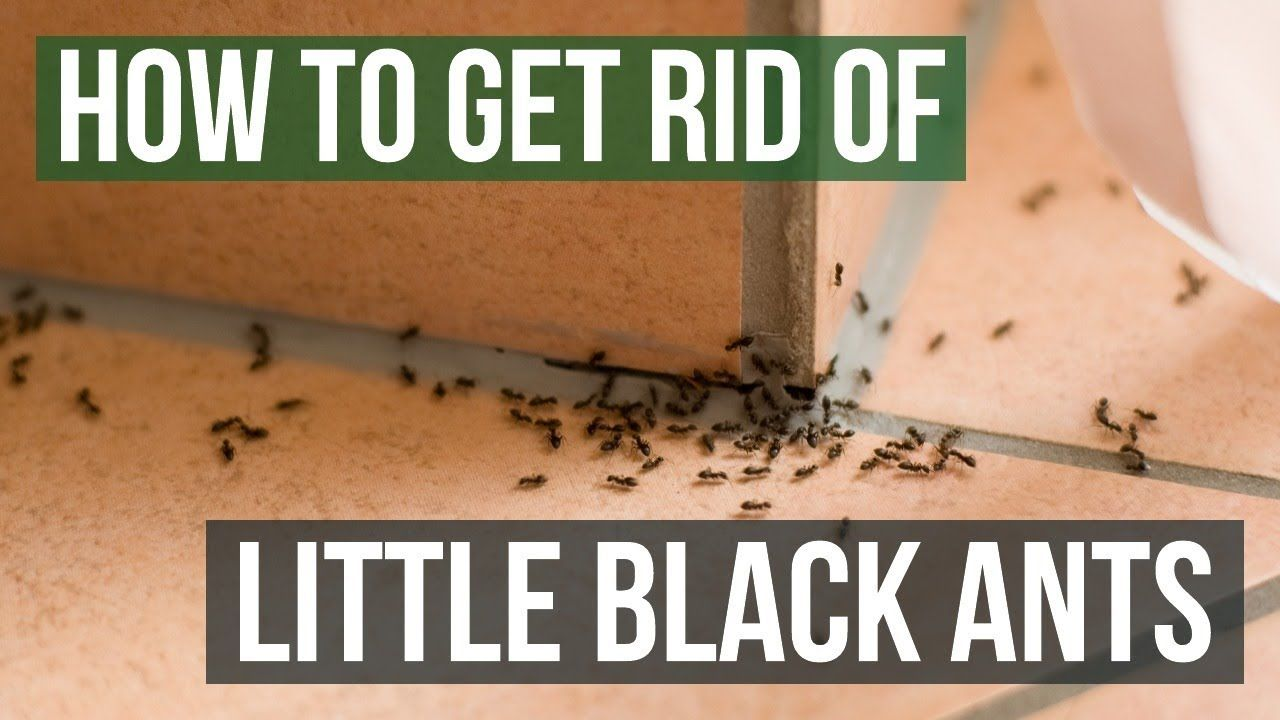 How To Get Rid Of Little Black Ants 3 Easy Steps With Images