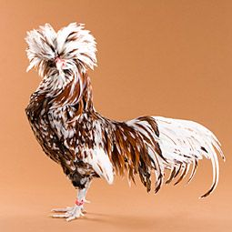 You Just Have To Love A Fancy Chicken Tollbunt Polish Rooster