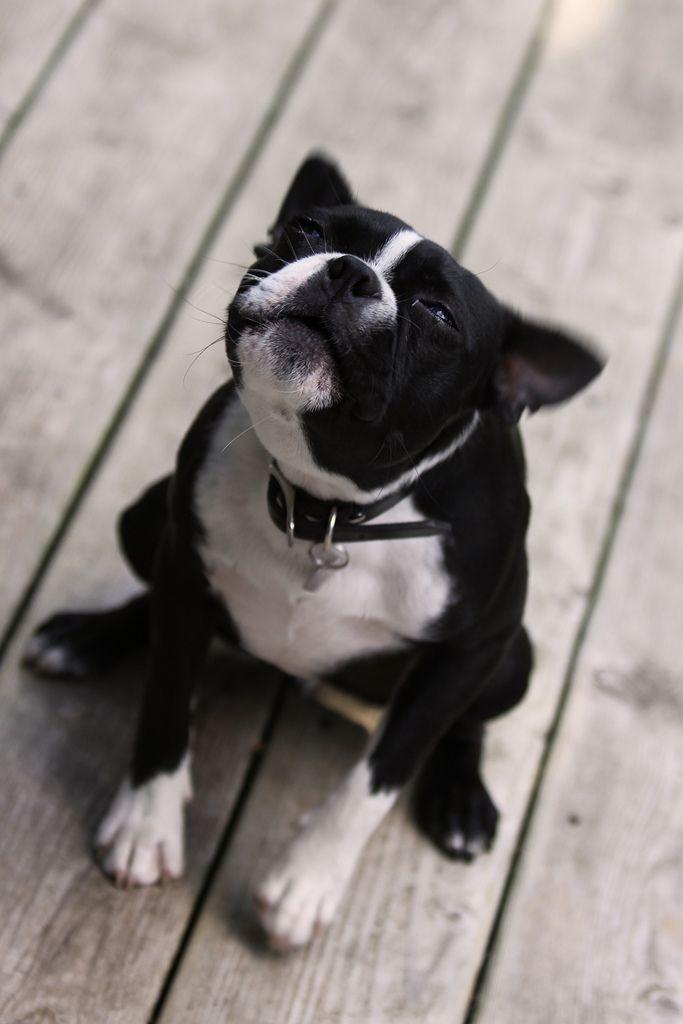 Hunter Singing Boston Terrier