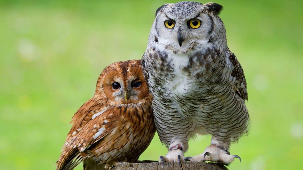 Картинка птицы. Две птицы, парочка, совы, «филин», две ...