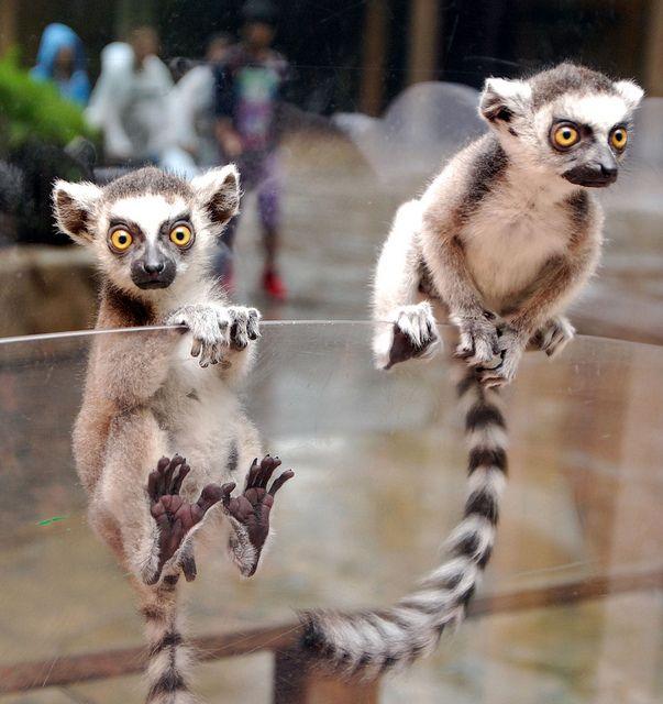 Ring tailed lemur Animals beautiful, Lemur, Cute animals