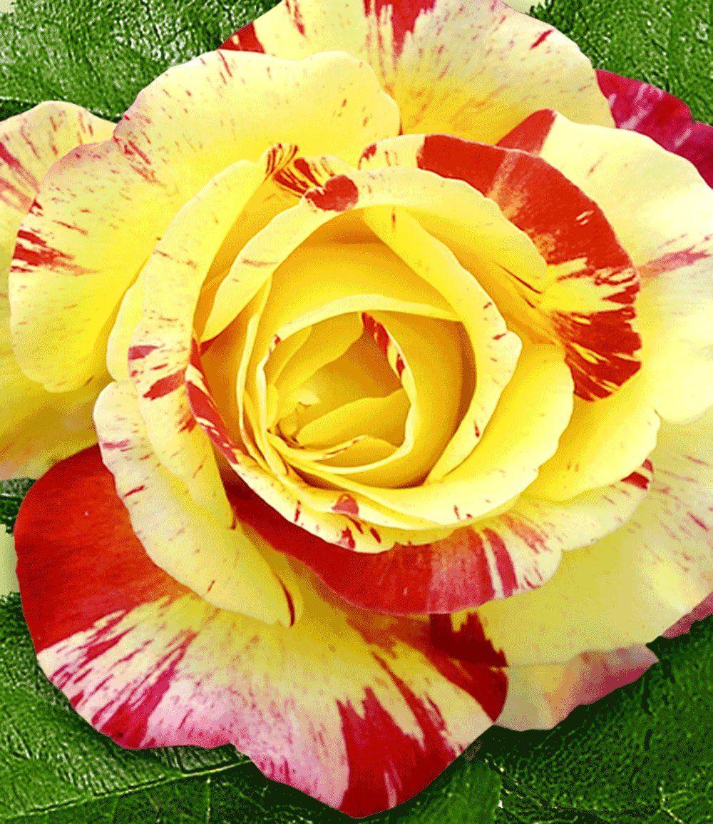 Maler Rose Camille Pissaro 1A Rosenpflanzen bestellen