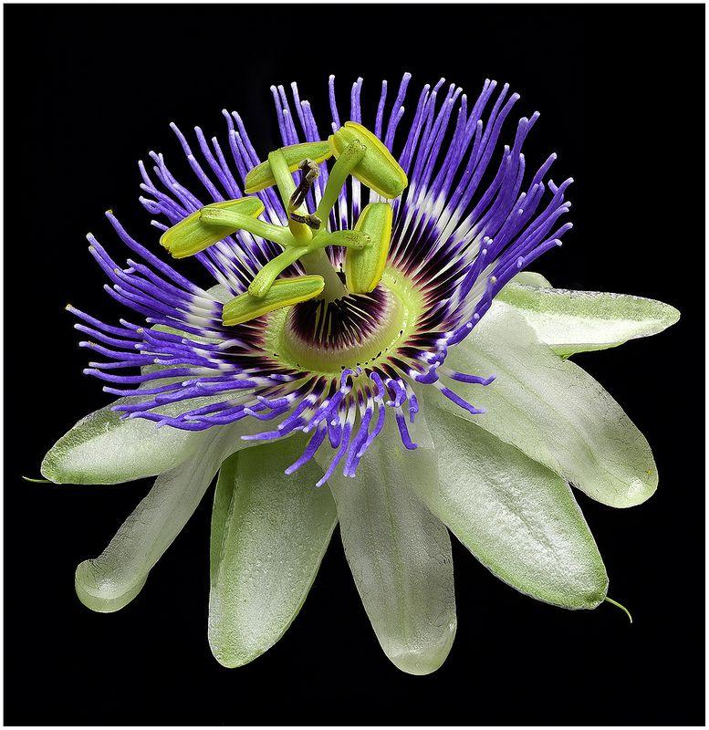 Blue Passionflower Passiflora Caerulea Flv37 Passion Fruit Flower Blue Passion Flower Passion Flower