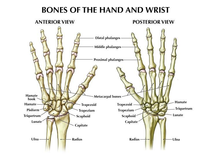 hand anatomy the o 39 jays and hands on pinterest : hand bones diagram - findchart.co