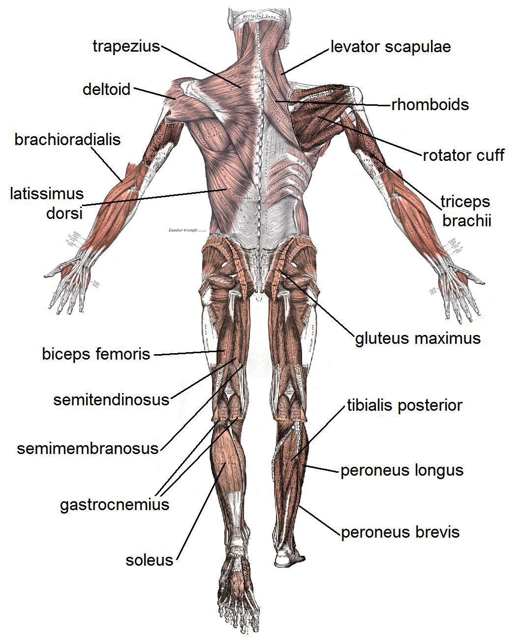 The Basic Muscles In The Human Body Human Muscular System