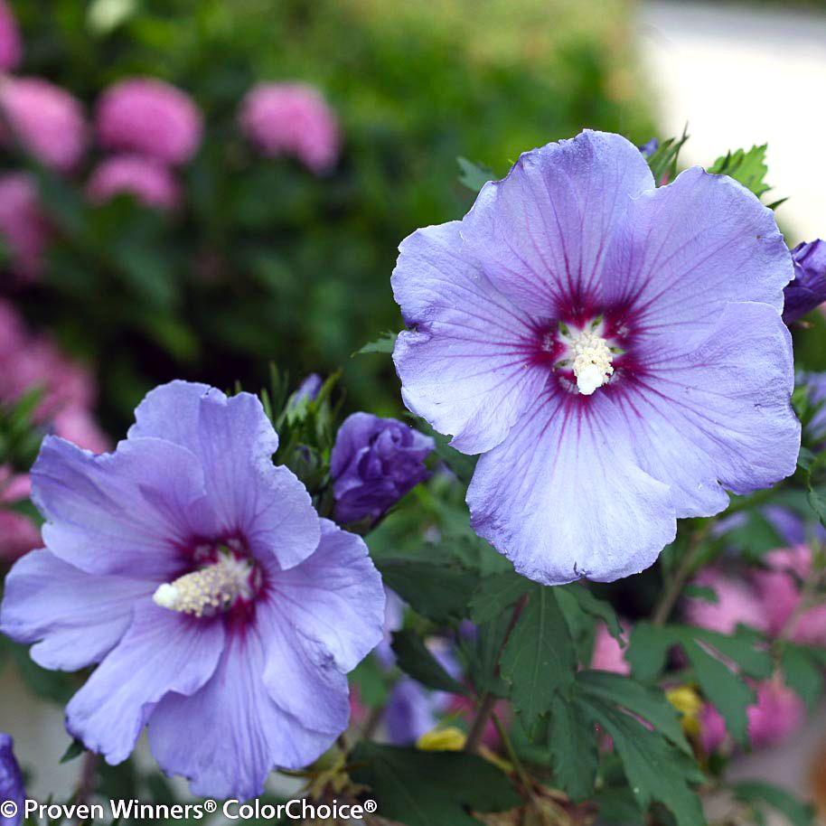 Azurri Satin Hibiscus (Hibiscus syriacus 'Azurri Satin')