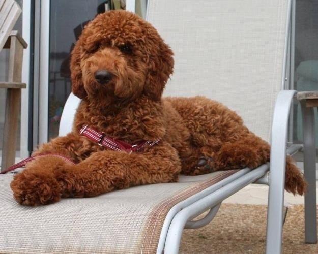 standard poodle teddy bear clip google search puppy