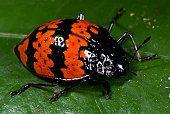 Image result for pleasing fungus beetle