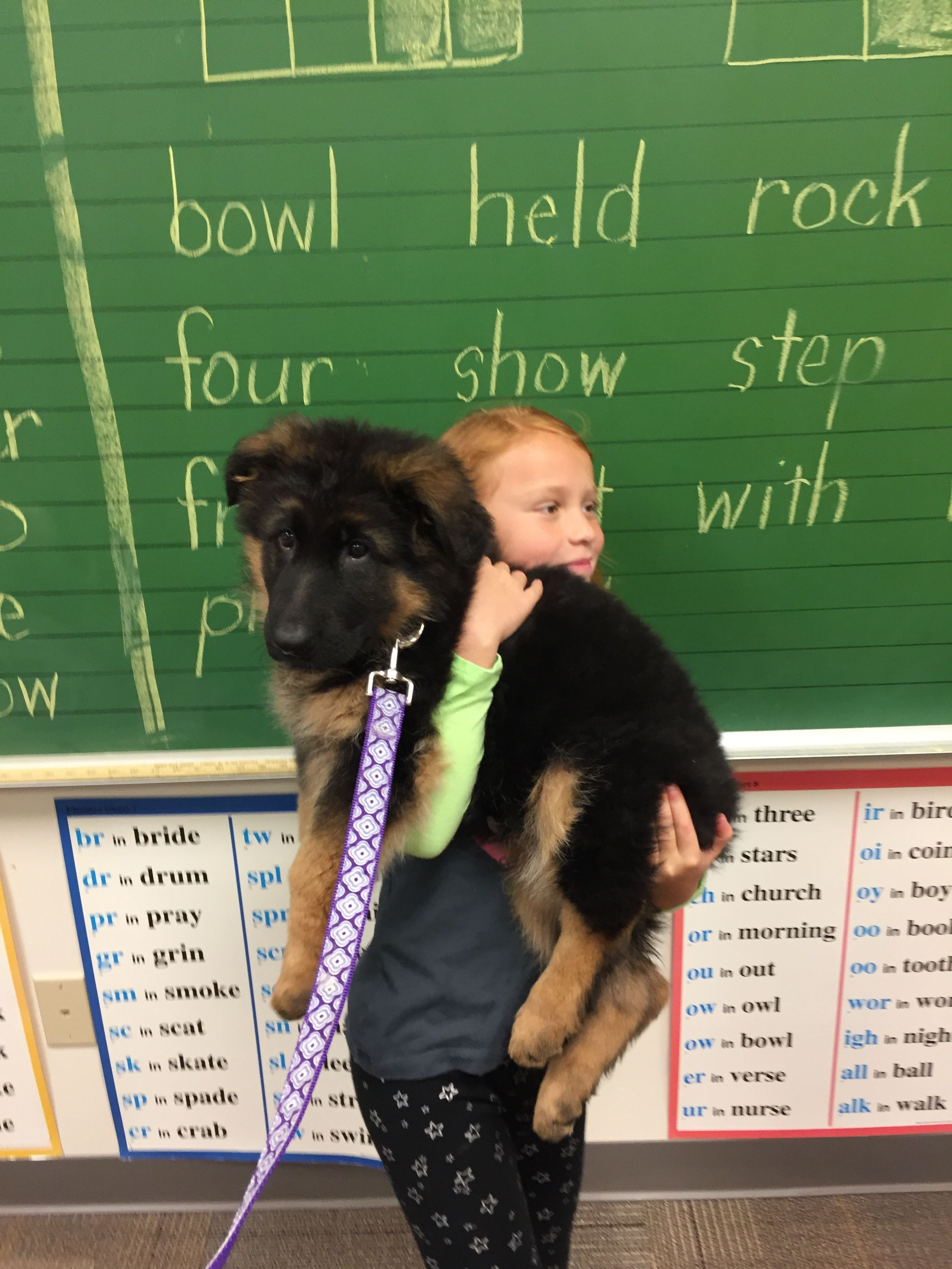Long Haired German Shepherd Puppy Loves Going To School