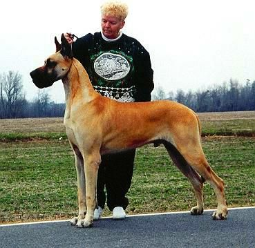 Ch Von Shrado S Sommersby Great Dane Beautiful Dogs Dog Show